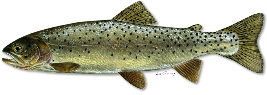 Yellowstone cutthroat illustration