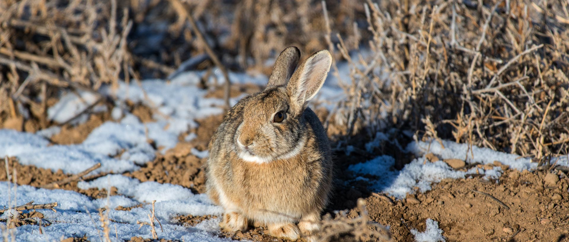 Plan a Cottontail Hunting Trip