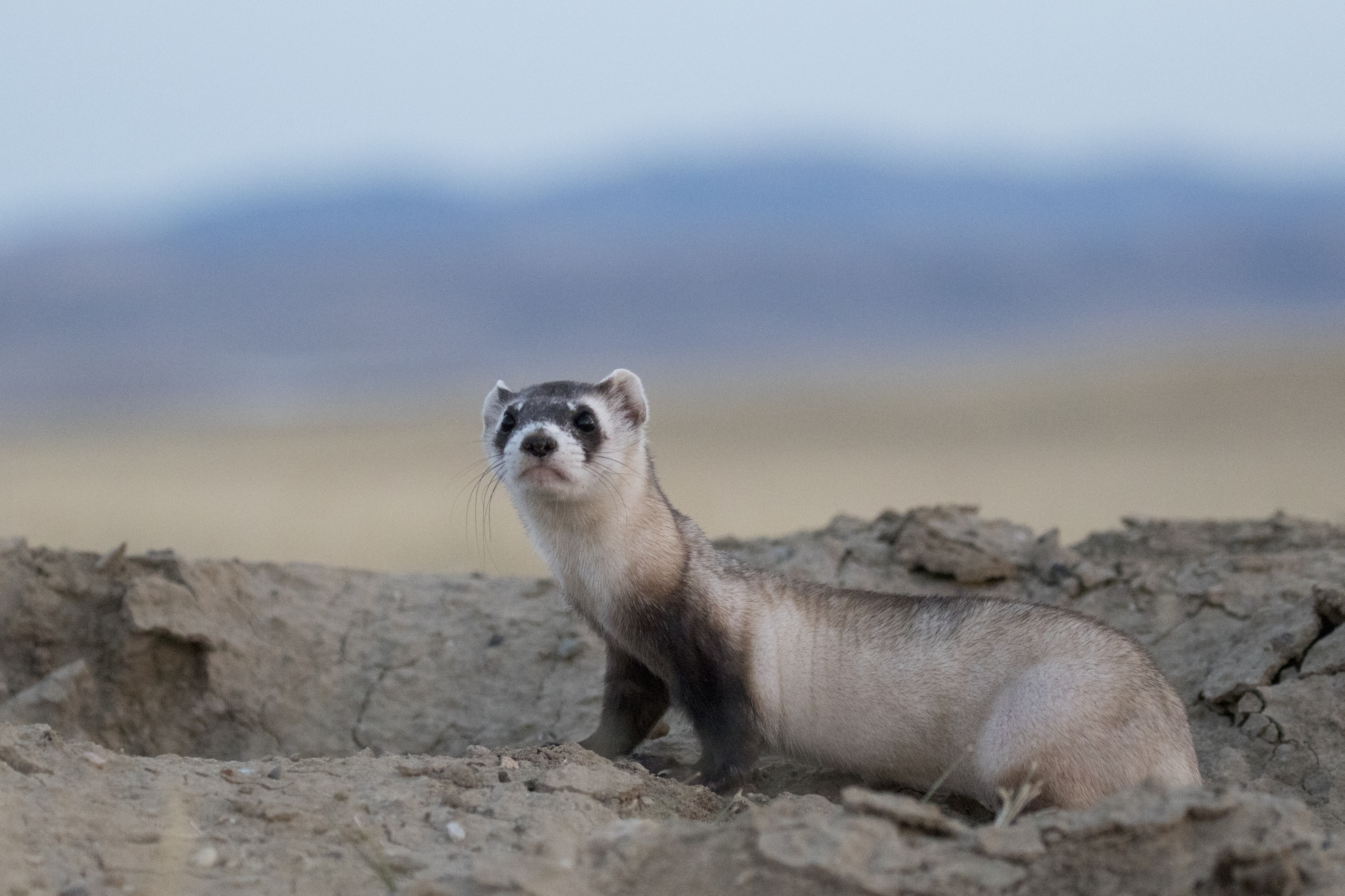 Show us your best black-footed ferret drawing