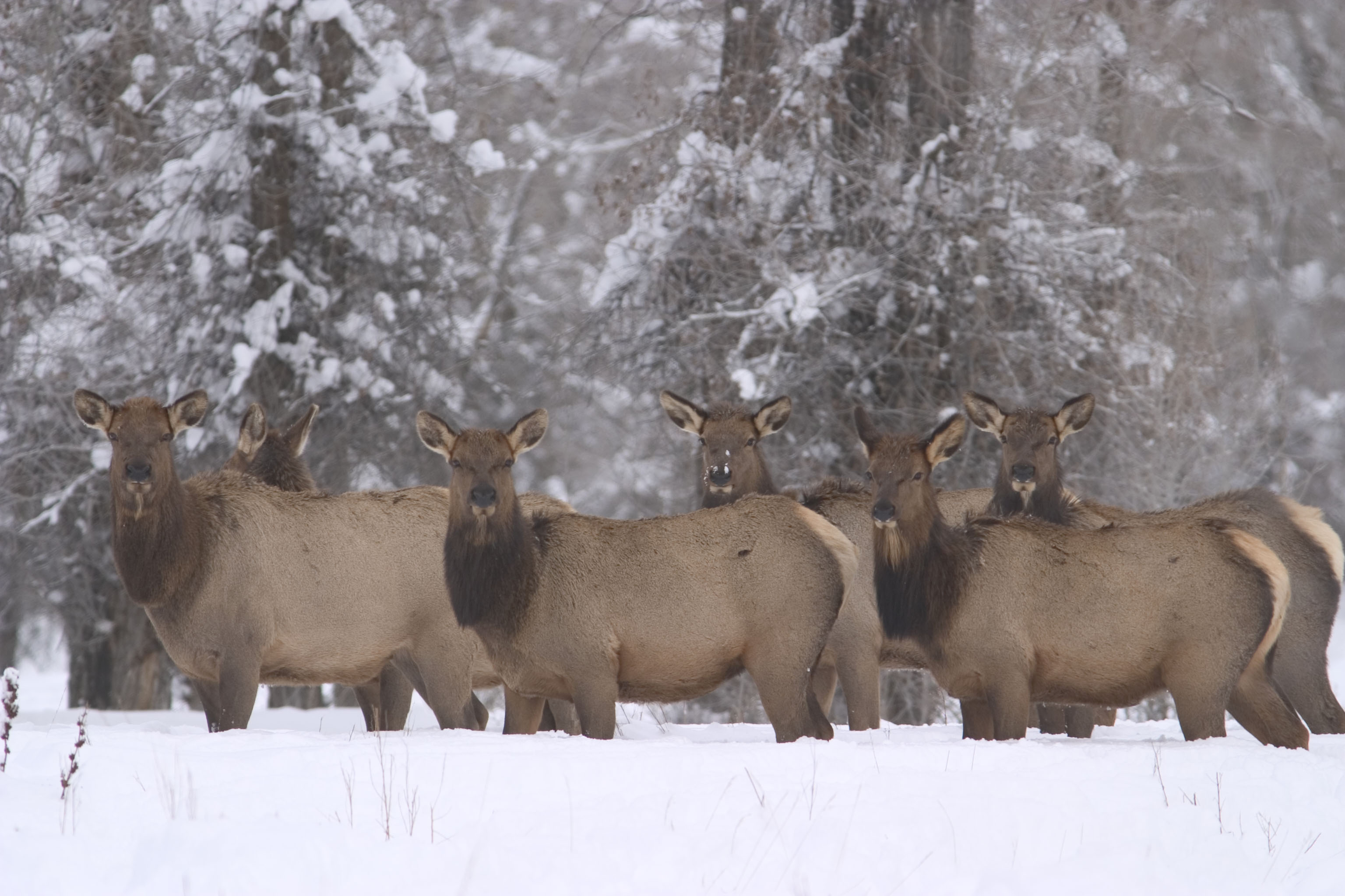 Elk feedgrounds: A challenge we can take on image