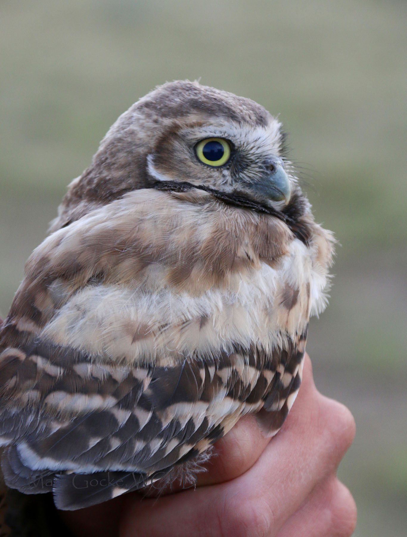 Burrowing Owl Research Continues