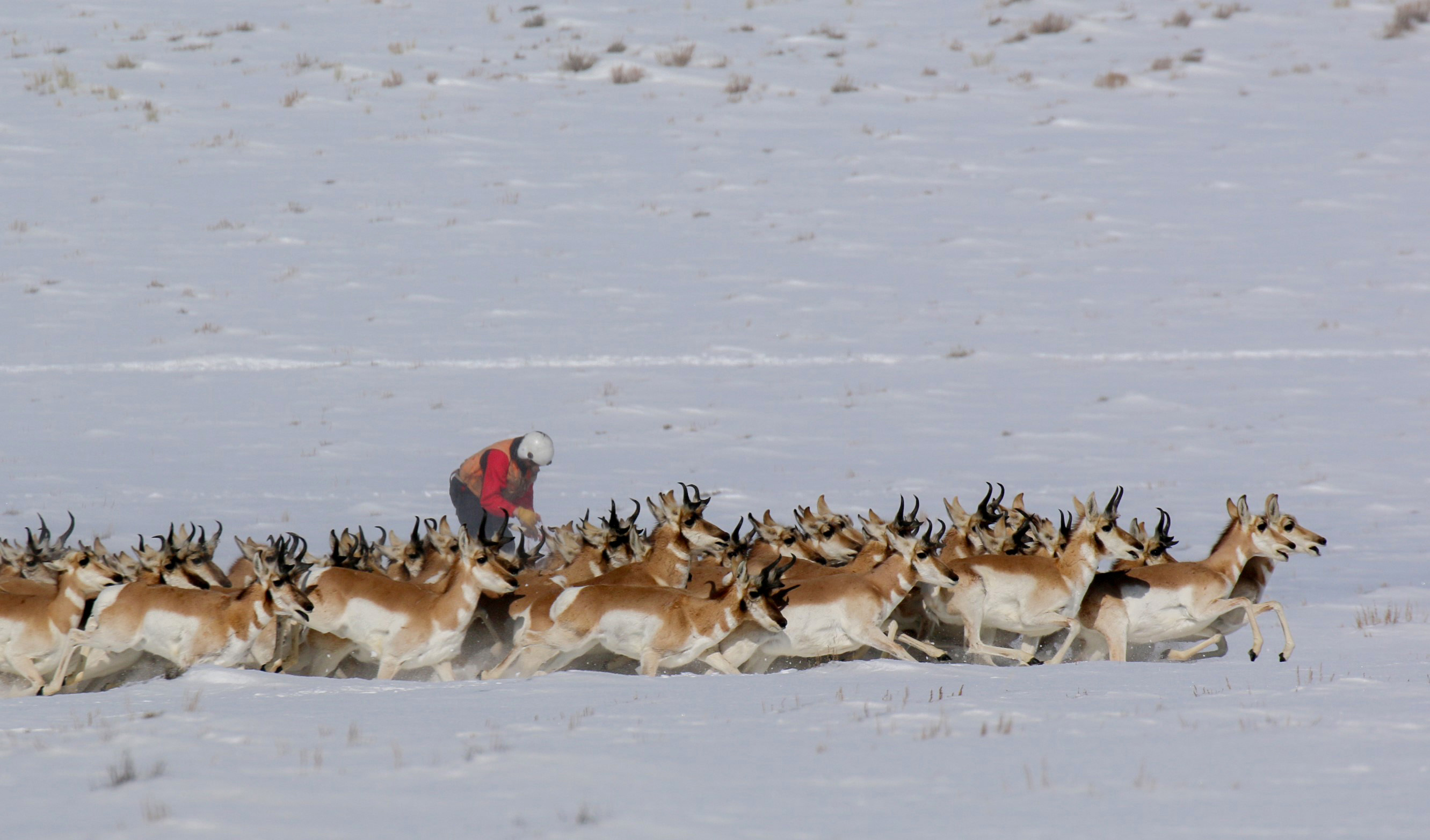 Pronghorn Collared for Migration Data