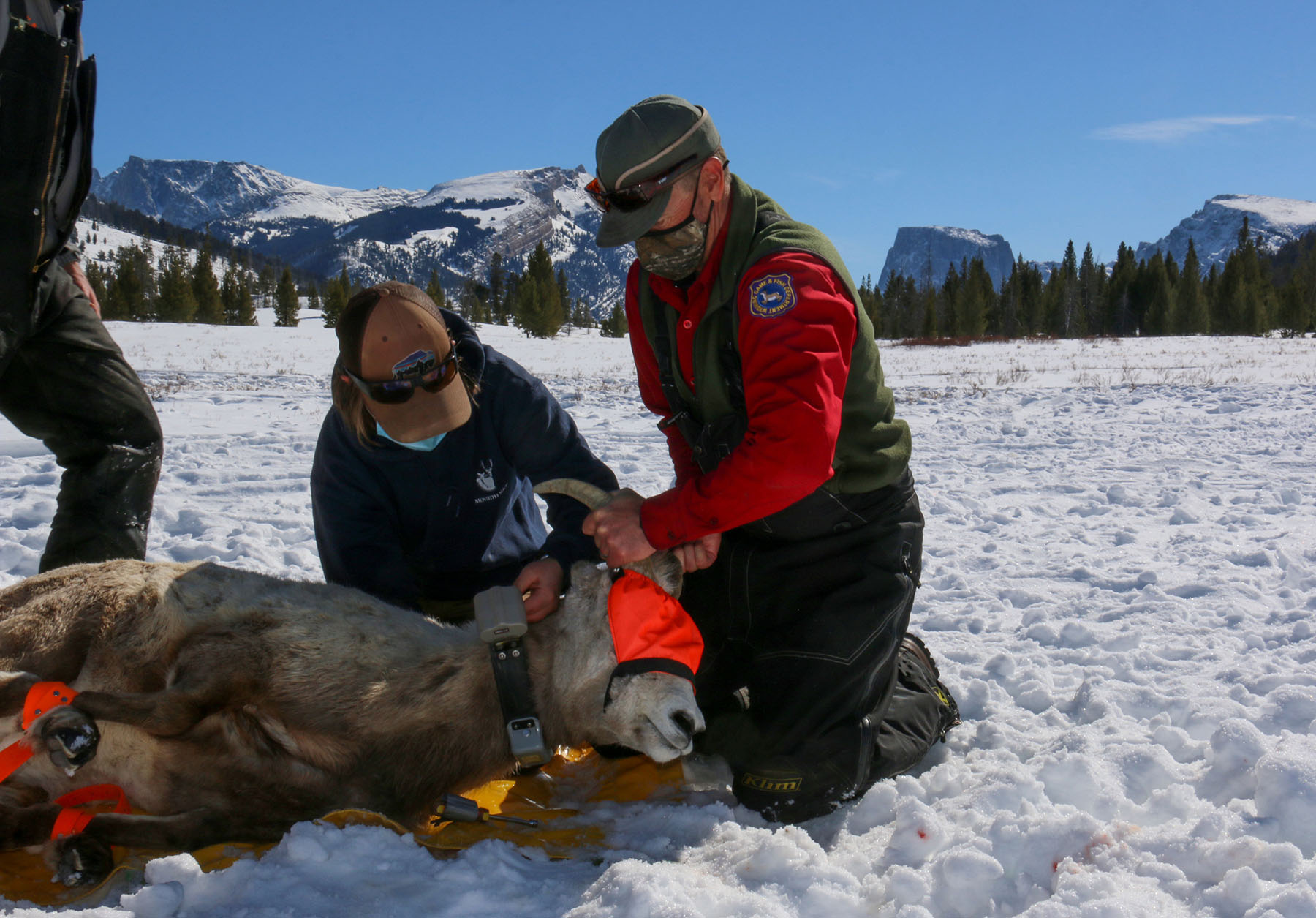 Bighorn Sheep of the Wind River Range Captured and Collared