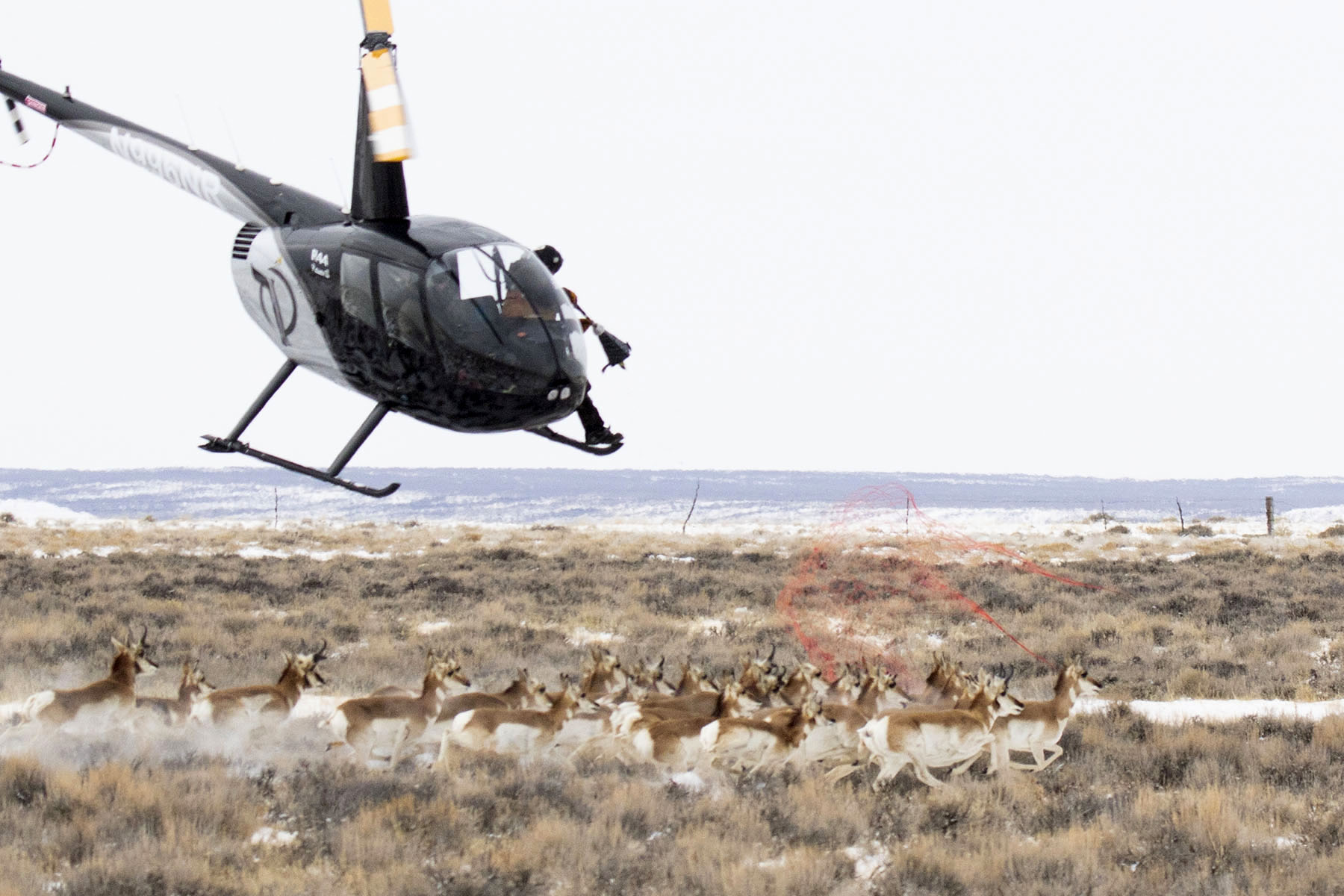 Pronghorn Collared to Supplement Migration Data