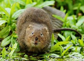 North American Water Vole