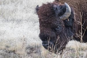 Wyoming game and fish department bison applications open for Wyoming game and fish draw results