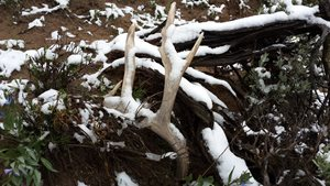 Public and state lands west of Continental Divide off limits to shed antler/horn gathering Jan. 1 – April 30
