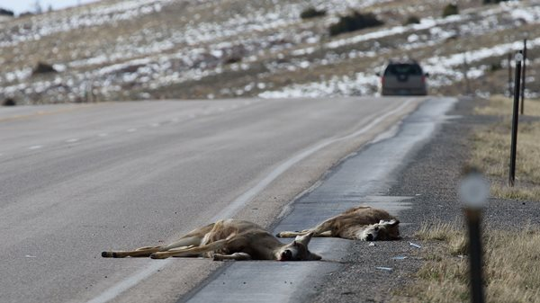 Wildlife/vehicle collisions near Dubois are subject of Dec. 8 virtual public meeting