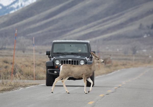 Drivers reminded to watch for wildlife, drive safely