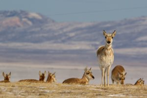 Improved fencing to help pronghorn, deer migration