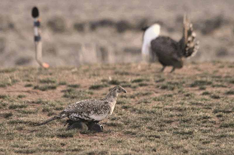 Robotic sage grouse helps study lek activity