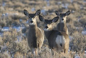 Game and Fish seeks comments on draft Biological Risk and Opportunity Assessment for designated Platte Valley Mule Deer Migration Corridor